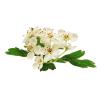 HOMEOGUM : Le 1er complément alimentaire efficace alliant Homéopathie et Phytothérapie utilisée en Homéopathie, Aubépine