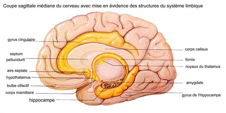 IMMUNIM VITAL en action avec les neurotransmetteurs : la neurogenèse