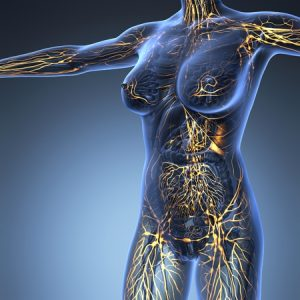 système circulatoire et lymphatique immun